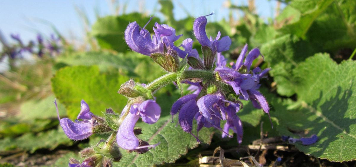 Clary sage essential oil: Uses and Benefits
