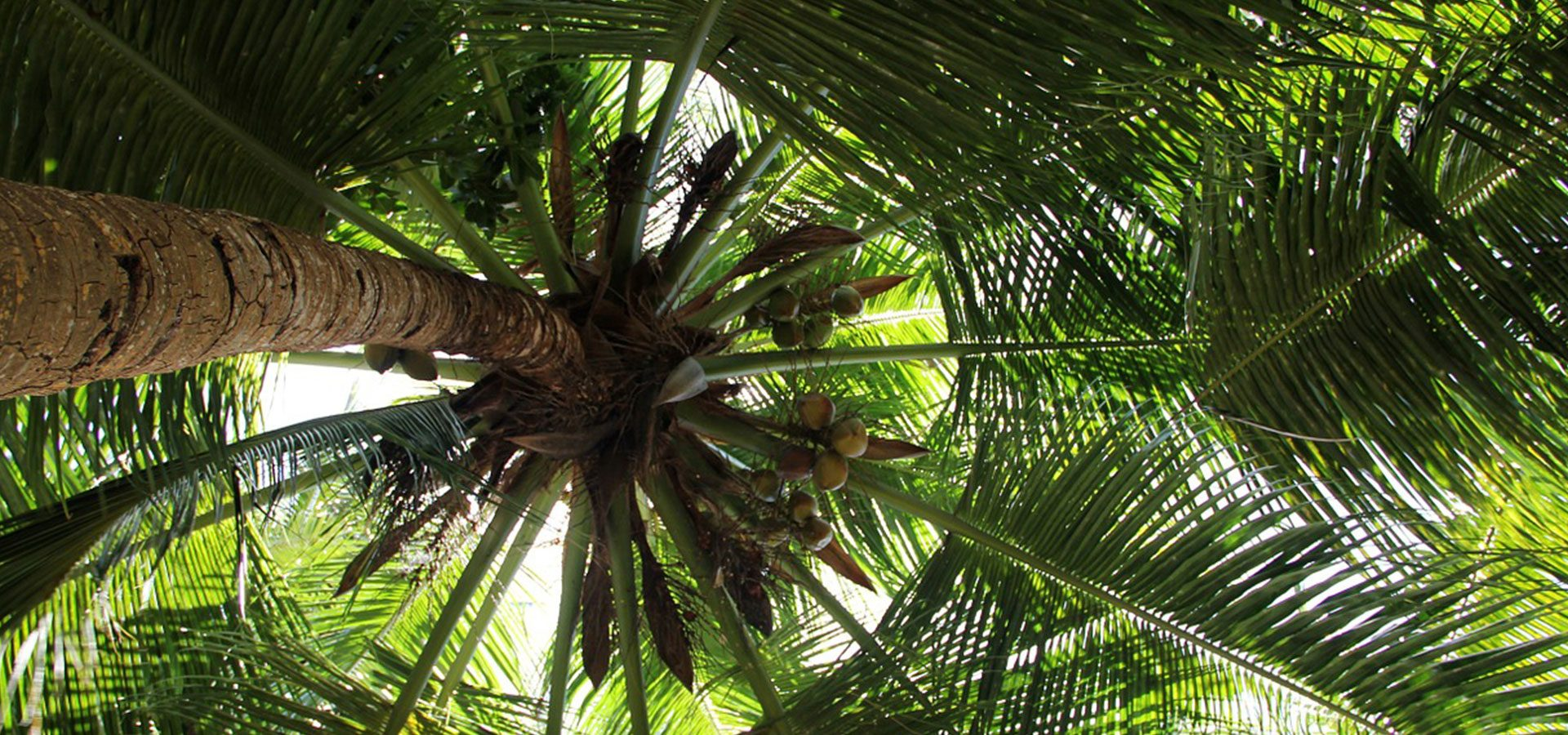 1920x900 coconut tree-lower
