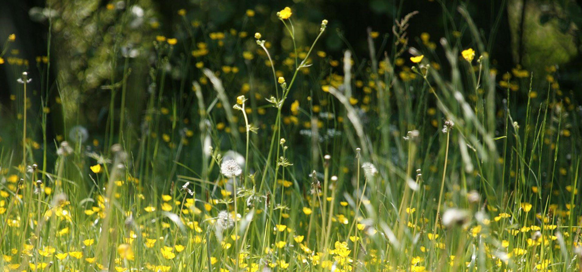 dandelion field 1920x900-60lower