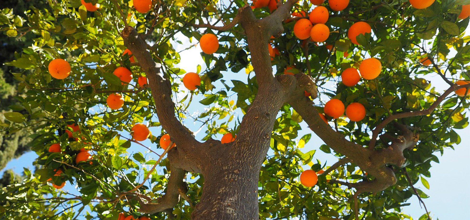 orange tree 1920x900-lower